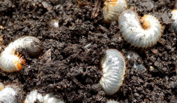How do I control Grubs & Mosquito in my lawn